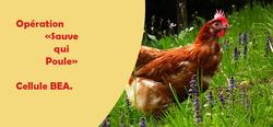 OPERATION « SAUVE QUI POULE ! » à Mouscron par la Cellule Bien-être Animal