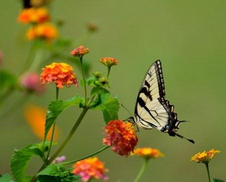 Machaon papillon